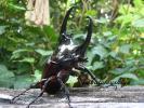 ケンタウルスオオカブト 幼虫 5頭