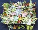 多肉植物カット苗 88種 寄せ植え エケベリア グラプトベリアなど