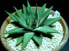 ★多肉植物★ハオルチア★haworthia.limifoli