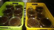 DHヘラクレス幼虫 初~2令5頭セット
