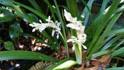 山野草 純白花 ヤブラン 斑入り 珍品