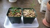 クレマチス コアクチリス 実生2鉢セット
