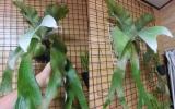P.stemaria cv.white 大株 着生植物 コウモリラン 限定1株