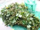丹波篠山 黒枝豆(無農薬栽培品)