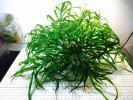 ★☆ ADA ウッド活着 ミクロソリウム sp. Saripoi LA便 ☆★