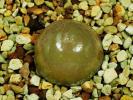 多肉植物 コノフィツム ブルゲリ