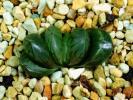 多肉植物 ハオルチア オブツーサ 水晶