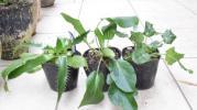 エリンジウム 3種セット 宿根草