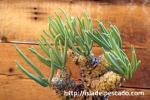 多肉植物 チレコドン ワリチー奇峰錦  種子20個 送料無料