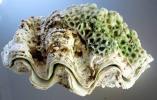 【沖縄県名護】珊瑚付シャコガイ◆貝殻 シャコ貝 11月上旬 1035g