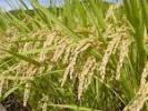 即決 28年度産 ヒノヒカリ 玄米30kもち混ざり訳あり米