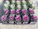 【農園】■葉牡丹 高性種 フェザー系 2色■苗20ポット