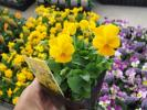 【農園】■ビオラ 4色ミックス■花苗 20ポット