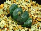 多肉植物 ハオルチア 玉扇 コンゲスタ錦 CN-13