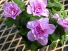 ★お花処★八重咲きオキザリス*ポンポン*3号ポット*ピンク