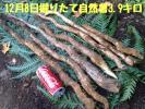 12/8掘りたて天然自然薯 3.9キロ 鹿児島産 野生の滋味 粘り最高!