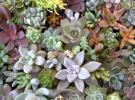 ☆多肉植物カット苗・エケベリア等72種・リースや寄せ植え等に