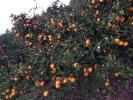 17 ミカン 皮も安心減農薬・有機肥料 生産者出品