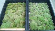 大トレイ2個分 山苔 ホソバオキナゴケ 盆栽 苔盆栽 白髪苔