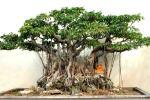 ベンジャミン Ficus benjamina  種子約100粒+