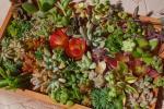 多肉植物小さめカット苗&抜き苗36種☆紅葉カラフル☆寄せ植えに