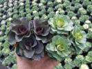 【農園】■葉牡丹 高性種3本植 晴姿・初紅ミックス■苗24P