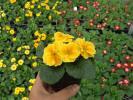 【農園】■プリムラ ジュリアン■花苗4色ミックス 20ポット