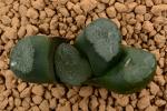 多肉植物 ハオルチア 玉扇 JJ1