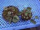 斑入り山野草 野生蘭 シクラメン 原種シクラメン