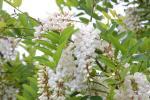 国産純粋 自然ハチミツ (アカシア)百花蜜 H28年産 新蜜