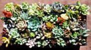 多肉植物 カット苗57種 寄せ植え エケベリア クラッスラ 多数