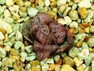 多肉植物 ハオルチア ピクタ 紅孔雀