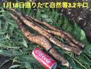 1/16掘りたて天然自然薯3.2キロ 鹿児島産 野生の滋味 粘り最高!