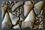 サメ 歯 化石 メガロドン アオザメ カマヒレザメ 30点 Z110