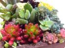 多肉植物 寄せ植えに 16種類 スプリングワンダー、白雪ミセバヤ、グラウコフィラム、プルプレア、ペンデンス他