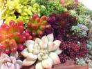 多肉植物 寄せ植えに カット苗 14種類セット ピンクプリティ他