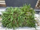 紀州産フウラン 巨大株に塊ザル1杯 野生蘭 セッコク 山野草