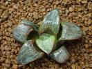 多肉植物 ハオルチア スプレンデンス シルバーキング 40mm ハオルシア