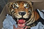 科學, 自然 - トラ虎 はく製(全体) 剥製 国際希少野生動植物登録票ありG