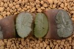 多肉植物 ハオルチア 万象 丹頂