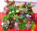 多肉植物☆シルバーブリキ☆30種以上☆大きな寄せ植え