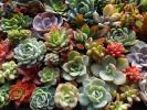 ■多肉植物66種類カット苗寄せ植えに■七福神、野バラの精、スプリングワンダーなど