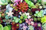多肉植物 セダム 寄せ植え カット苗  輸入苗含む 36種+α