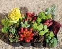 多肉植物 セダム 寄せ植え カット苗  輸入苗含む 12種