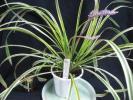 ◆山野草 庭植え 鉢植えに  斑入りヤブラン(2) 10,5cm鉢植え