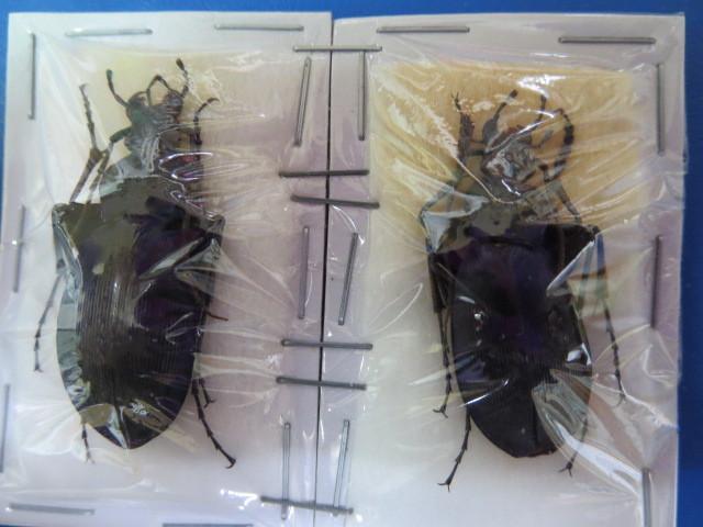 大特価! 学術昆虫標本 オオオサムシ 淡路島産 2頭セット_画像1