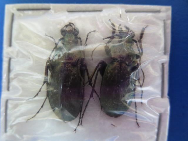 大特価! 学術昆虫標本 アキオサムシ 淡路島産 2頭セット_画像1