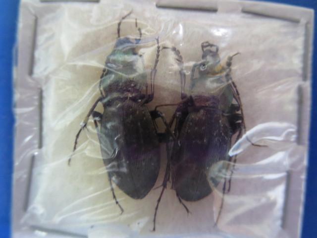 大特価! 学術昆虫標本 ヒメオサムシ 徳島県産 2頭セット_画像1