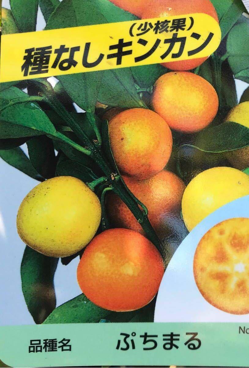 ぷちまる 種なし 金柑PVP接木苗木_画像1