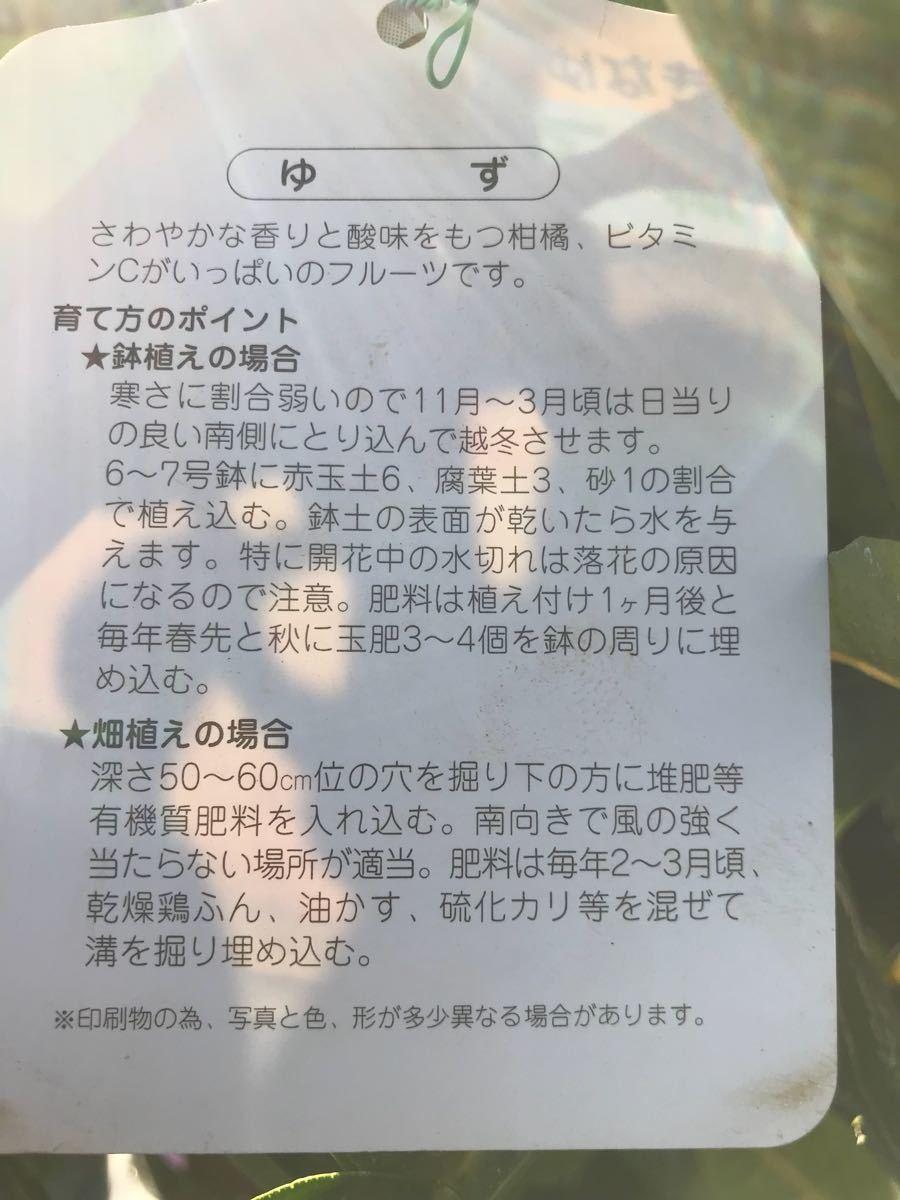 獅子柚子(大きなゆず)苗木_画像2